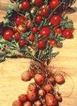 tomatoe potatoe plant